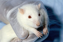220px-wistar_rat