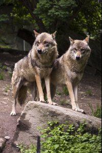 wolf-631539_960_720